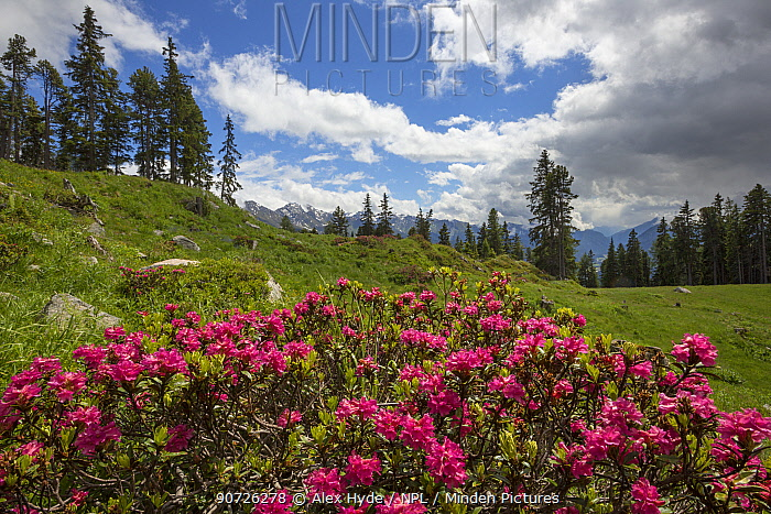 Alpenrose (Rhododendron ferrugineum) in mountain landscape, Nordtirol, Austrian Alps June