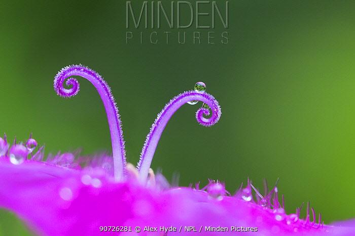 Carthusian Pink flower (Dianthus carthusianorum) detail of two stigmas, Nordtirol, Austrian Alps. June.