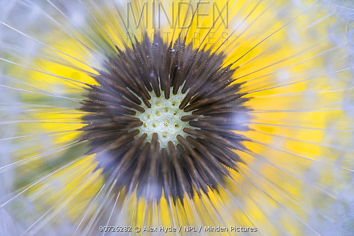 Dandelion (Taraxacum officinale) close up of seedhead or 'clock', Nordtirol, Austian Alps. June.