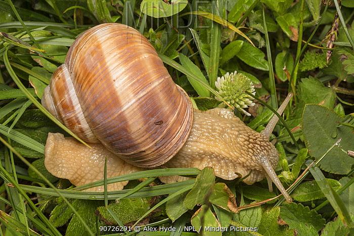 Roman / Edible Snail (Helix pomatia), Nordtirol, Austrian Alps. June.