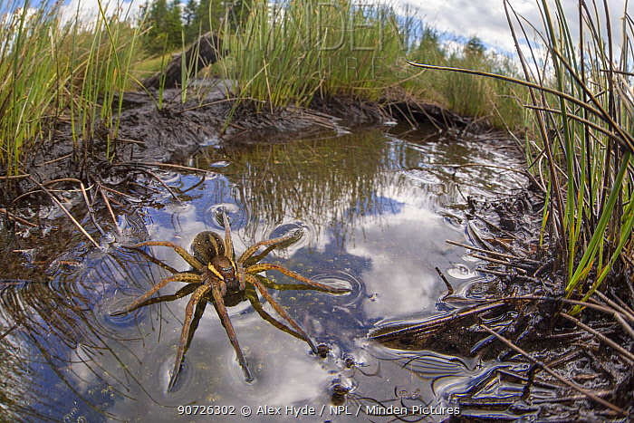 Raft Spider (Dolomedes fimbriatus) female resting on the surface of a moorland pool, photographed with a fisheye lens to show surrounding habitat. Nordtirol, Austrian Alps, June.