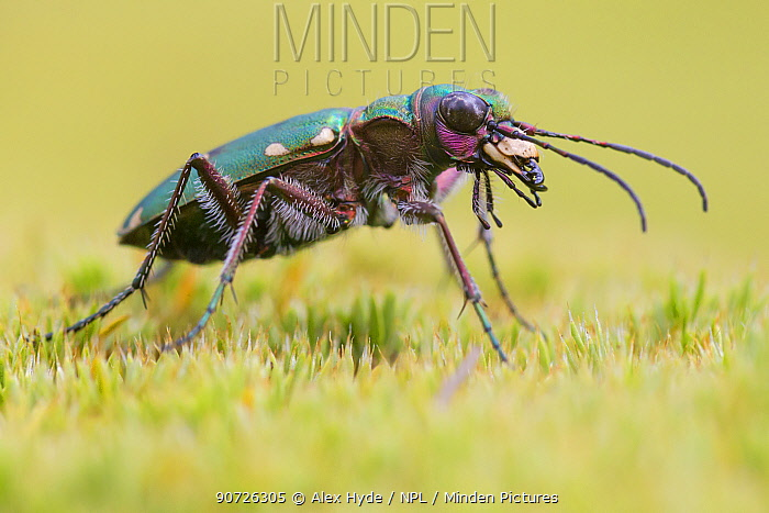 Green Tiger Beetle (Cicindela campestris) Nordtirol, Austrian Alps. June.