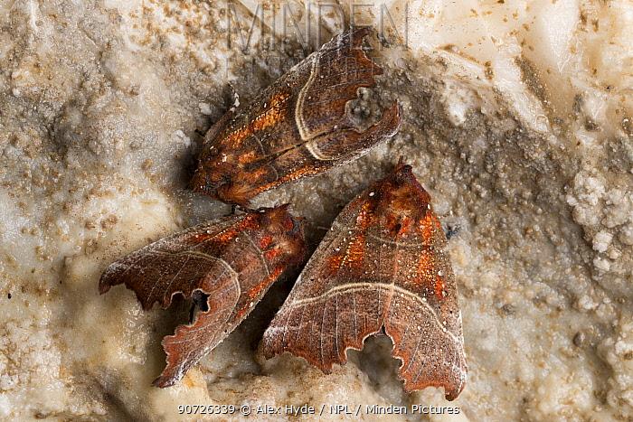 Herald Moths (Scoliopteryx libatrix) hibernating in a limestone cave. Peak District National Park, Derbyshire, UK. October.