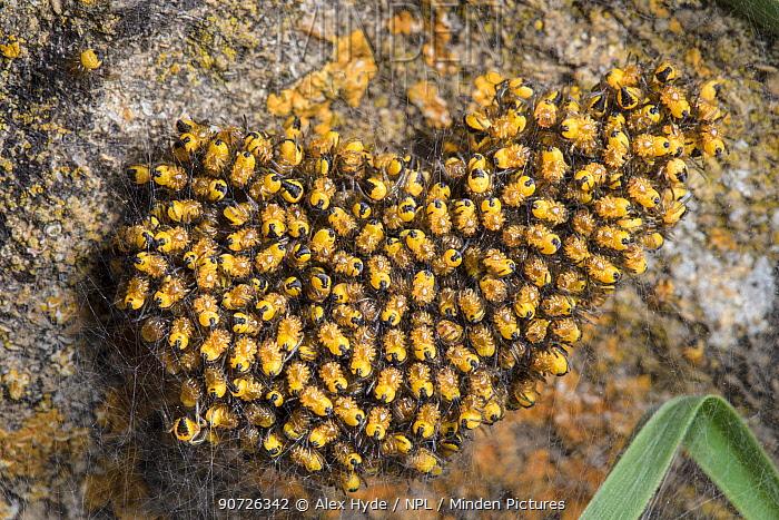 Garden Orb Weaver (Araneus diadematus) spiderlings. Cotswolds, UK. May.