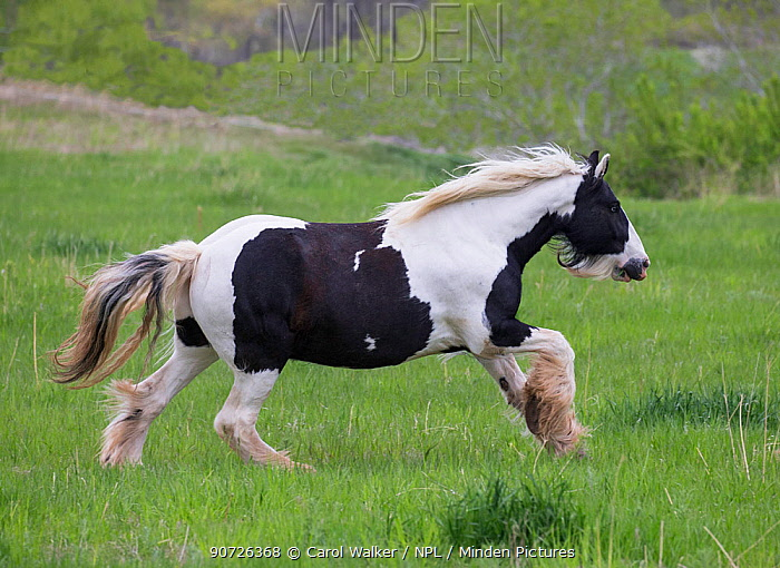 Overweight Gypsy vanner mare, aged 11 years at Happy Dog Ranch horse rescue, Littleton, Colorado.