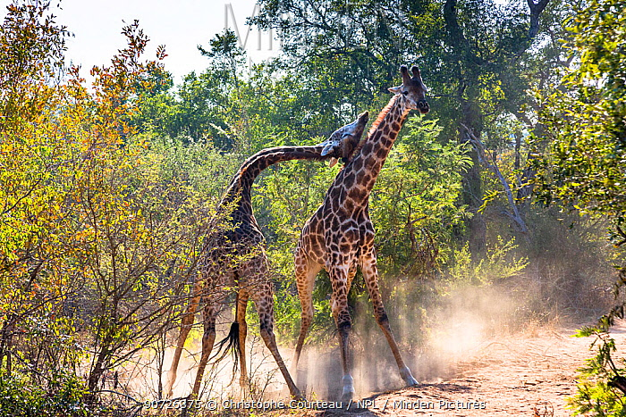 Reticulated giraffes (Giraffa camelopardalis) two males fighting in the bush, South Africa.