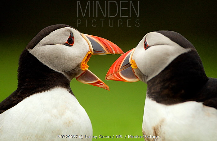 Atlantic Puffin (Fratercula arctica) pair bill rubbing part of ritual courtship, Skomer Island, Wales, UK, May