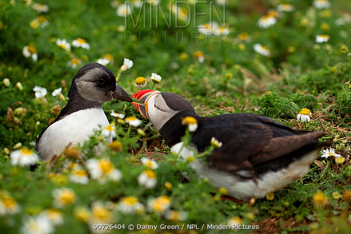 Atlantic Puffin (Fratercula arctica) and young Puffling coming out of its burrow, Skomer, Wales, UK, July