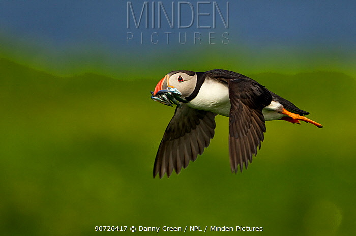 Atlantic Puffin (Fratercula arctica) in flight carrying sand eels back to its chick, Sule Skerry, Scotland, UK, July