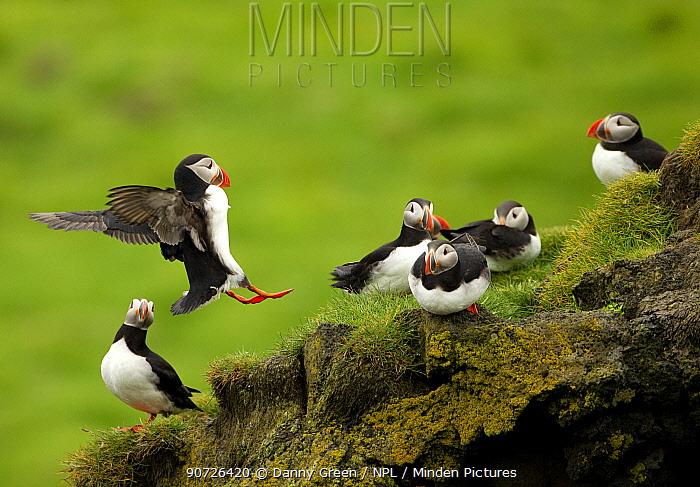 Atlantic Puffin (Fratercula arctica) landing among flock, Elliaey, Westman Isles, Iceland, June
