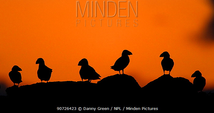Atlantic Puffins (Fratercula arctica) resting on top of a cliff at dusk, Sule Skerry, Scotland, UK, July