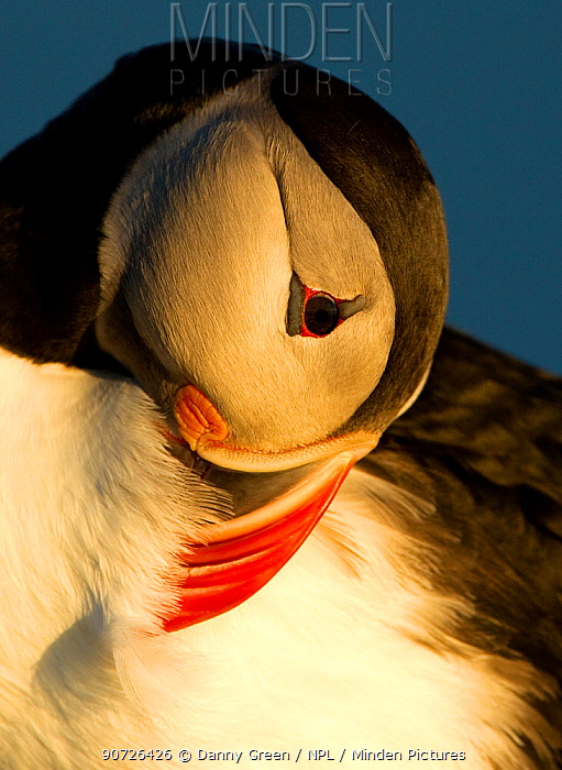 Atlantic Puffin (Fratercula arctica) preening in late evening light, Heimaey, Westman Isles, Iceland, June