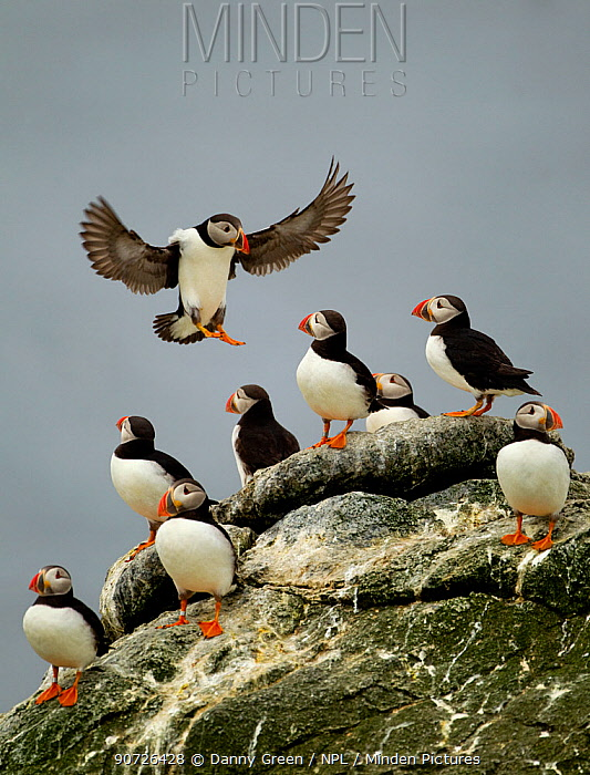 Atlantic Puffin (Fratercula arctica) one landing among resting group, Sule Skerry, Scotland, UK, July
