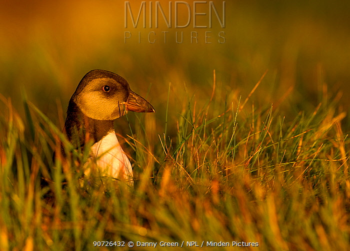 Atlantic Puffin (Fratercula arctica) puffling / young chick resting among grass, Sule Skerry, Scotland, UK, July