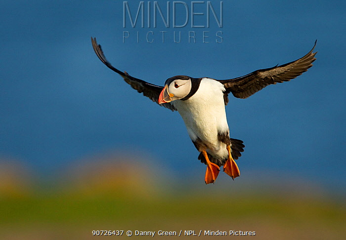 Atlantic Puffin (Fratercula arctica) in flight, Fair Isle, Shetland Isles, Scotland, UK, June