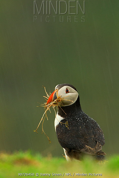 Atlantic Puffin (Fratercula arctica) collecting nesting material in a rain shower, Skomer Island, Wales, UK, April