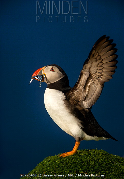 Atlantic Puffin (Fratercula arctica) wing stretching with sand eels in beak, Flannan Isles, Scotland, UK, July