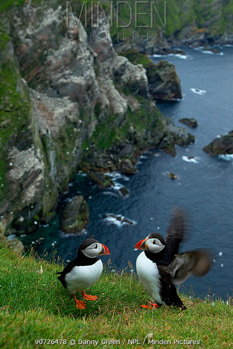 Atlantic Puffins (Fratercula arctica) resting on cliff edge, Hermaness, Scotland, UK July