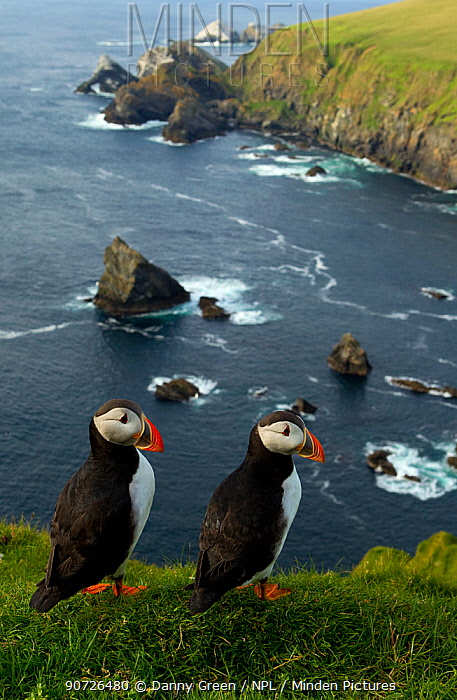 Atlantic Puffins (Fratercula arctica) two resting on cliff edge, Hermaness, Scotland, UK, July