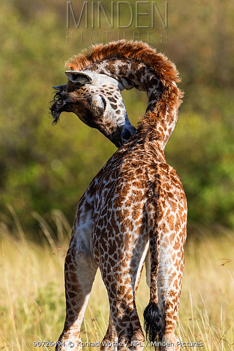 Young Masai giraffe (Giraffa camelopardalis tippelskirchi) bottom of neck, Masai Mara National Park, Kenya, East Africa, August.