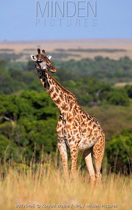 Masai giraffe (Giraffa camelopardalis tippelskirchi) standing in long grass, Masai Mara National Park, Kenya, East Africa, August.