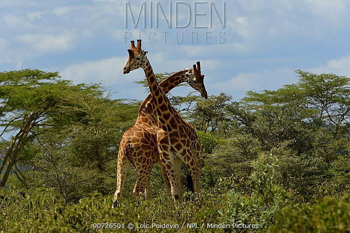 Two Rothschild's giraffes (Giraffa camelopardalis rothschildi) fighting amongst Acacia trees, Nakuru, Kenya, October.