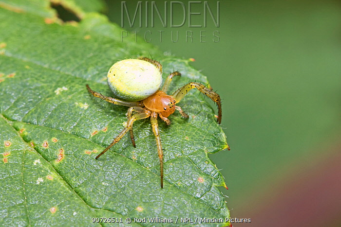 Comb footed spider (Enoplognatha ovata) on leaf, Brockley, Lewisham, London, England, July.