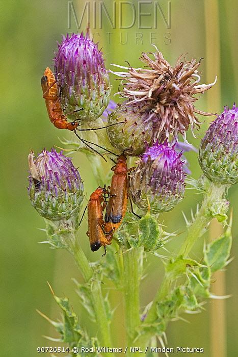 Three Common red soldier beetles (Rhagonycha fulva) on thistle, Sutcliffe Park Nature Reserve, Eltham, London, England, July.