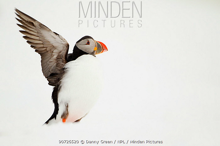 Atlantic Puffin (Fratercula arctica) stretching on a snow bank, Hornya, Varanger, Norway, April