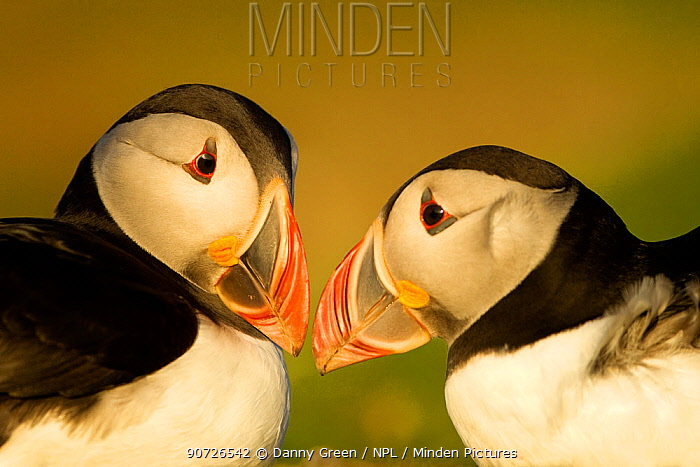 Atlantic Puffin (Fratercula arctica) male and female in courtship display, Skomer Island, Wales, UK, May