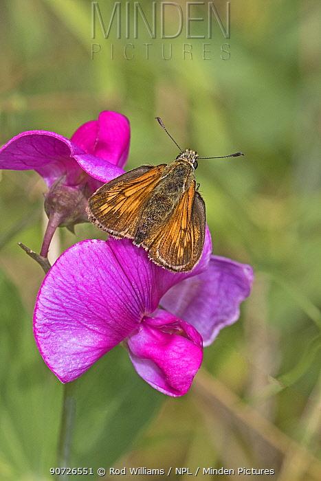 Male Large skipper butterfly (Ochlodes sylvanus) on Everlasting sweet pea flower, Brockley Cemetery, Lewisham, London, England, July.