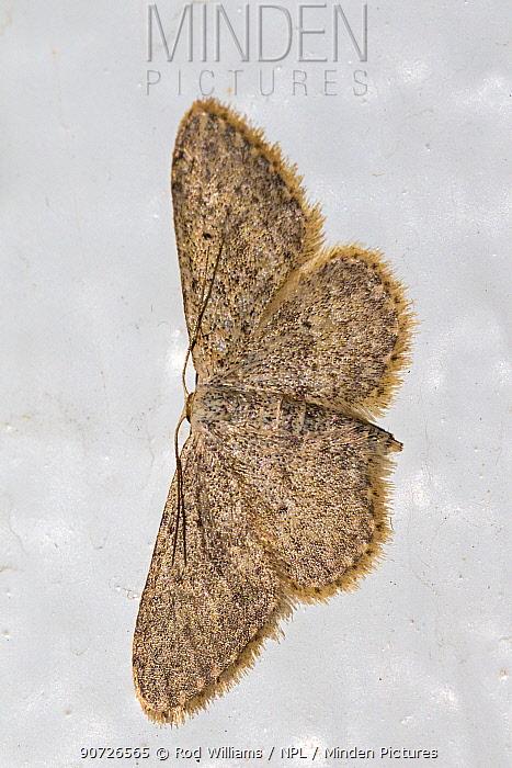 Small dusty wave moth (Idaea seriata) on whitewashed wall at night, Brockley, Lewisham, London, England, August.