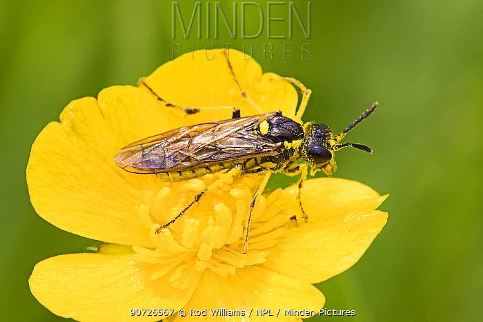 Sawfly (Tenthredo arcuata) on flower, Sutcliffe Park Nature Reserve, Eltham, London, May.