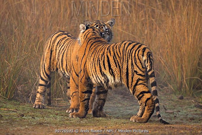 Bengal tiger (Panthera tigris tigris) 11 month old cubs playing, Ranthambhore National Park, India.