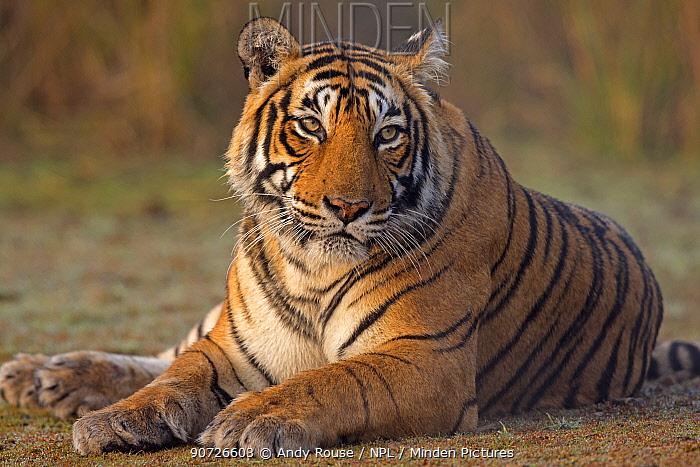 Bengal tiger (Panthera tigris tigris) female 'T19 Krishna' sitting, Ranthambhore National Park, India.