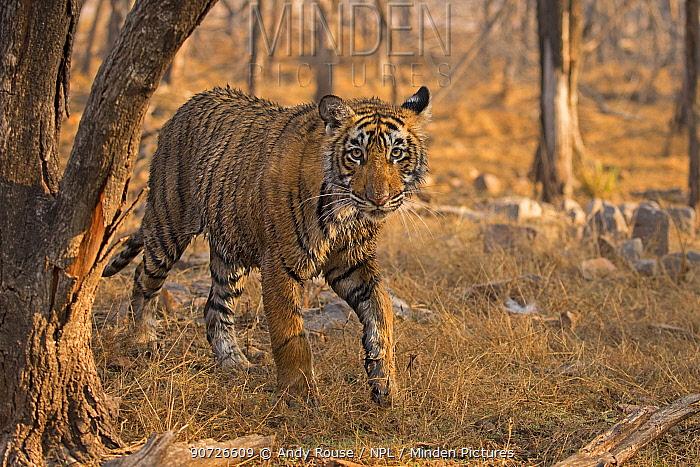 Bengal tiger (Panthera tigris tigris) 11 month cub in forest,  Ranthambhore National Park, India.