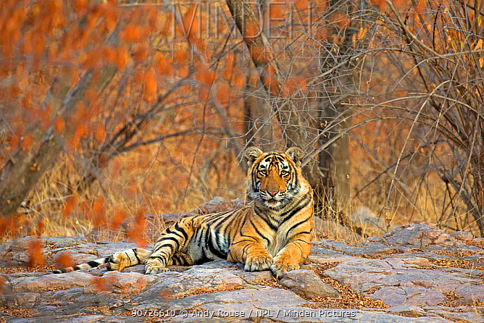 Bengal tiger (Panthera tigris tigris) 11 month cub in winter forest, Ranthambhore National Park, India.