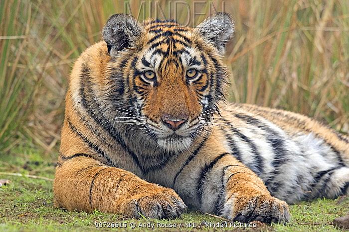 Bengal tiger (Panthera tigris tigris) 11 month cub, Ranthambhore National Park, India.
