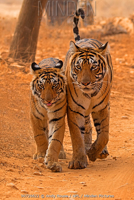 Bengal tiger (Panthera tigris tigris) female 'T19 Krishna' with 11 month cub, Ranthambhore National Park, India.