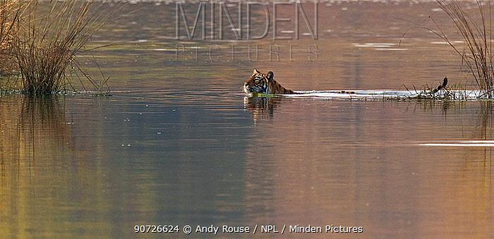 Bengal tiger (Panthera tigris tigris) female swimming across lake, Ranthambhore National Park, India.