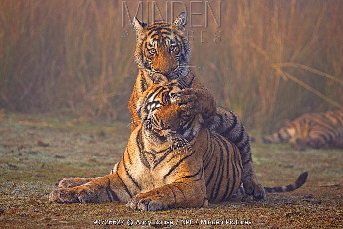 Bengal tiger (Panthera tigris tigris) female 'T19 Krishna' with 11 month cub, Ranthambore National Park, India.