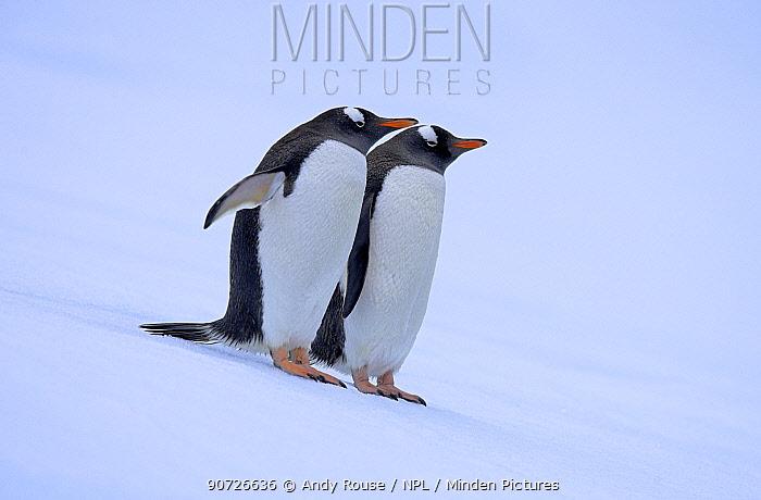 Gentoo penguins (Pygoscelis papua) on iceberg, Antarctica.