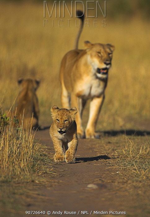 African lion (Panthera leo) mother with cubs, Kenya.