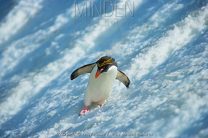 Macaroni Penguin (Eudyptes chrysolophus) sliding down glacier, South Georgia. Crop of 01500168.