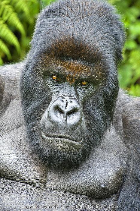Mountain gorilla (Gorilla beringei) silverback portrait, Rwanda.