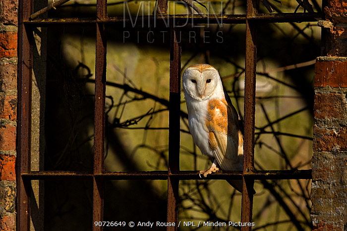Barn owl (Tyto alba) in old window, UK, March.