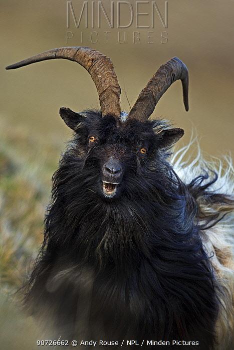 Feral goat (Capra aegagrus hircus) male on hillside, Scotland, UK, April.