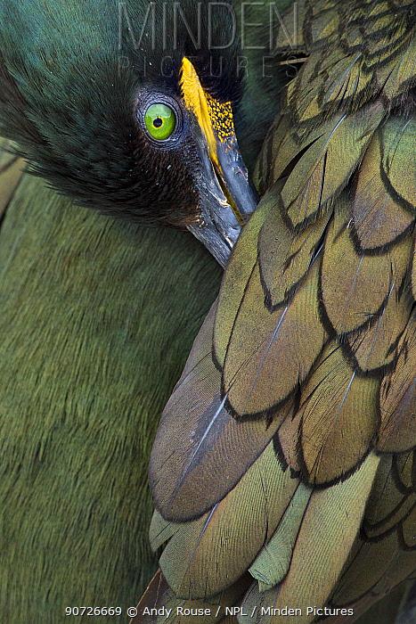 Common shag (Phalacrocorax aristotelis) with head under wing on nest, Farne Islands, Northumberland,UK