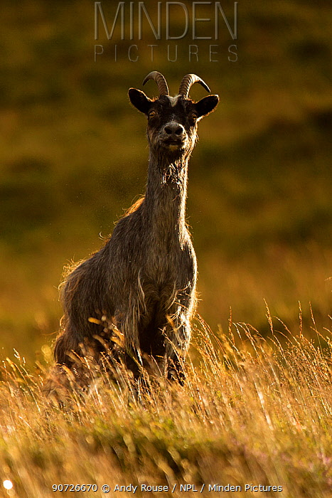 Feral goat (Capra aegagrus) on hillside, Scotland, UK, August.