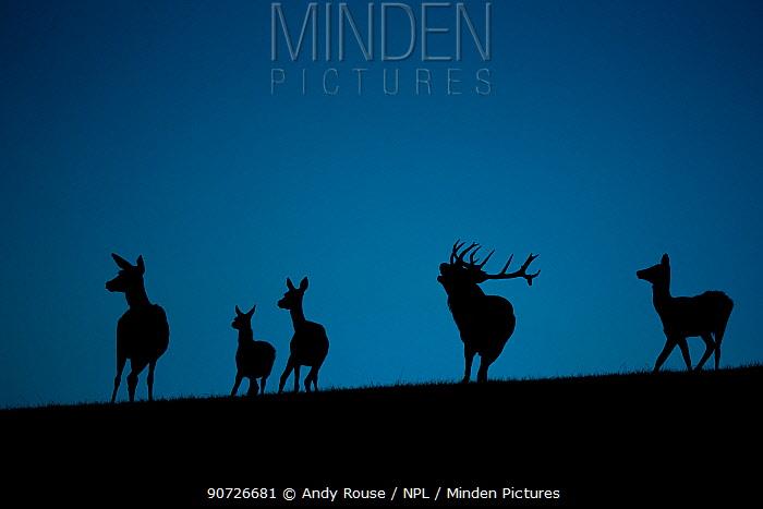 Red deer (Cervus elaphus) herd silhouetted at dusk. Wales, UK, September. Captive in deer park.